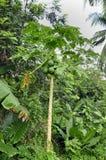 Papaya tree (Carica p.) Stock Photos