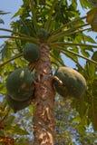 Papaya tree ( Carica papaya ) Stock Image
