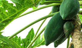 Papaya tree. The papaya tree close up Royalty Free Stock Photography