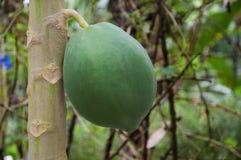 Papaya tree closeup. Greenish papaya tree on field royalty free stock images