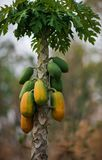 Papaya Tree. Couple green and ripe fruits grows out of single stem tree stock image