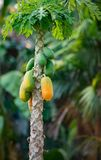 Papaya Tree. Couple green and ripe fruits grows out of single stem tree royalty free stock photo