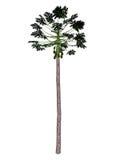 Papaya tree - 3D render Royalty Free Stock Images