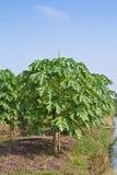 Papaya tree in the farm Royalty Free Stock Photo