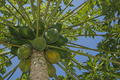Papaya tree with fruit. A Papaya tree loaded with fruit.  This tree grows in tropical climates.  The fruit can be eaten raw or used for dessert and milk shakes Royalty Free Stock Images