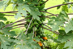 Papaya tree. Royalty Free Stock Images