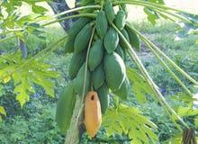 Papaya on tree. Papaya fruit on tree with bunch stock photo