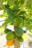 Papaya tree with fruit Royalty Free Stock Photo