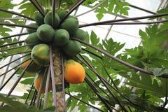Papaya on Tree. Papaya fruit ripening on tree stock images