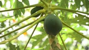 Papaya tree with fruits. Papaya tree and bunch of fruits. Green papaya fruit on the tree. 4K video, Philippines stock video