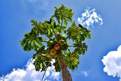 Green palm Papaya in blue sky background Stock Photography