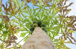 Papaya tree with fruits Royalty Free Stock Image