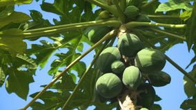 Papaya tree with fruits. Papaya tree and bunch of fruits. Green papaya fruit on the tree. Philippines Stock Photography