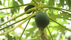 Papaya tree with fruits. Papaya tree and bunch of fruits. Green papaya fruit on the tree. Philippines Stock Image