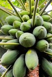 Papaya tree with fruits. Photo close up of papaya tree with green fruits Stock Photo