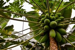 Papaya tree with fruits. Photo close up of papaya tree with green fruits Royalty Free Stock Photography