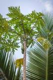 The papaya tree with fruits at Sri Lanka.  Royalty Free Stock Image