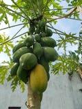 Papaya tree and fruits Stock Images