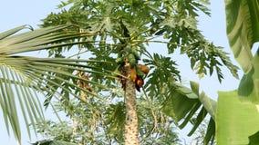 Papaya tree with fuits stock video footage