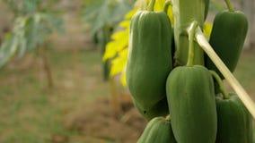 Papaya tree in the garden.  stock footage