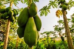 Papaya tree in garden Stock Photography