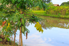 Papaya tree. In garden in Thailand stock image