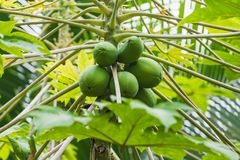 The papaya tree with green bunch of fruits stock images