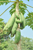 Papaya tree Royalty Free Stock Image