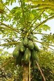 Papaya Tree Stock Photography