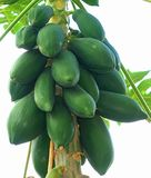 Papaya Tree with Green Papayas Stock Image