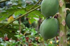 Papaya tree. Greenish papaya tree with papayas on field royalty free stock photography