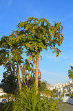Papaya Tree. A papaya tree growing in a housing estate stock image