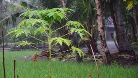 Papaya tree in heavy rain, Java, Indonesia stock video