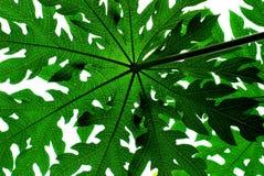 Papaya tree Leaf. A backlit papaya tree leaf Stock Photography