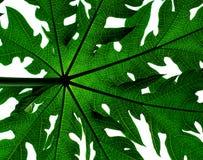 Papaya tree Leaf. A backlit papaya tree leaf Royalty Free Stock Photo