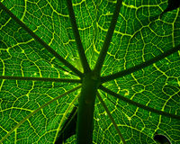 Papaya tree Leaf. Royalty Free Stock Photography