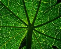 Papaya tree Leaf. A backlit papaya tree leaf.use as background royalty free stock photography