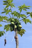 Papaya tree loaded with fruits. With brightness in the leaves and blue sky in the background Royalty Free Stock Images