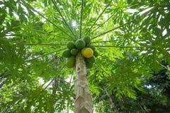 Papaya tree. A papaya tree with lots of fruit stock photography