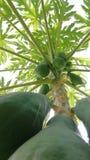 Papaya fruits stock image