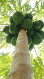 Papaya tree. With many fruits stock photography
