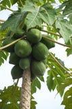 Papaya tree. Many green papaya fruits on the tree Stock Photography