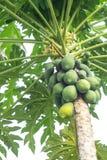 Papaya tree. Mature papaya on a tree ready for harvest royalty free stock photography