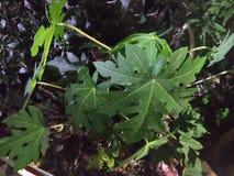 Papaya tree. Natural papaya tree royalty free stock photo
