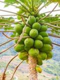 Papaya on tree in nature Royalty Free Stock Photo