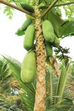 Papaya or papaya tree. In the orchard stock photography