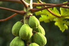 Papaya Royalty Free Stock Photos