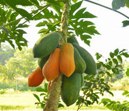 Papaya tree in the orchard of Thailand Royalty Free Stock Image