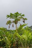 Papaya tree. Beautiful tropical vegetation in Sao Tome royalty free stock photography