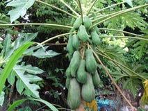 Papaya tree. Full of green fruits royalty free stock image